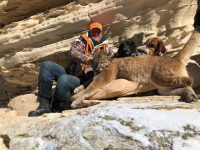 Mountain Lion Hunting with Grand Slam Outfitters